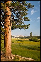Pine tree in meadow, Tuolumne Meadows. Yosemite National Park, California, USA.