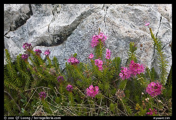 Alpine flowers and granite. Yosemite National Park (color)