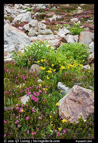 Alpine flowers and rocks. Yosemite National Park (color)