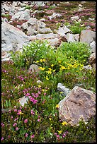 Alpine flowers and rocks. Yosemite National Park, California, USA.