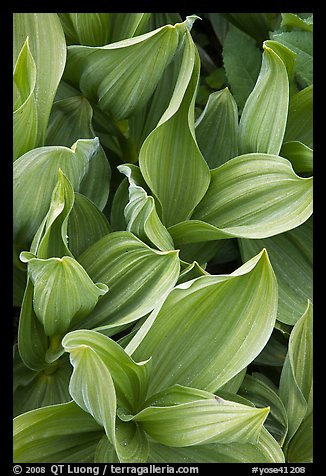 Corn lilly leaves. Yosemite National Park, California, USA.