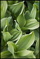 Corn lilly leaves. Yosemite National Park ( color)