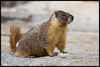 Marmot on slab. Yosemite National Park, California, USA. (color)