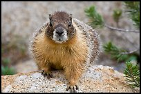 Front view of marmot. Yosemite National Park ( color)