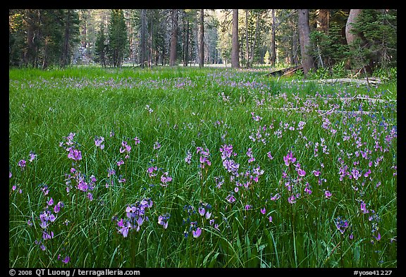 Meadow covered with purple summer flowers, Yosemite Creek. Yosemite National Park (color)