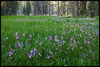 Meadow covered with purple summer flowers, Yosemite Creek. Yosemite National Park, California, USA.