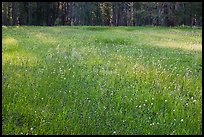 Summer wildflowers in meadow, Yosemite Creek. Yosemite National Park, California, USA.