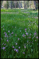 Meadow with carpet of purple summer flowers, Yosemite Creek. Yosemite National Park, California, USA.