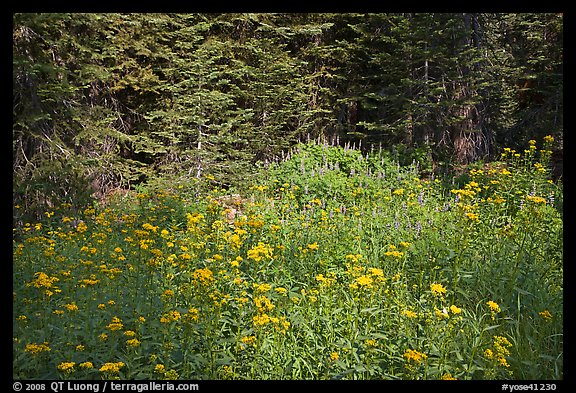 Yellow flowers and lupine at forest edge, Yosemite Creek. Yosemite National Park (color)