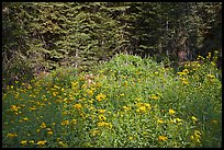 Yellow flowers and lupine at forest edge, Yosemite Creek. Yosemite National Park, California, USA.