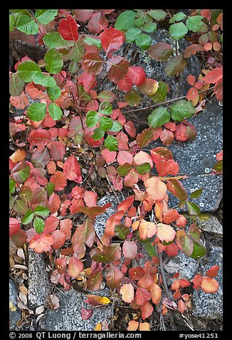 Leaves and rock, Hetch Hetchy. Yosemite National Park (color)