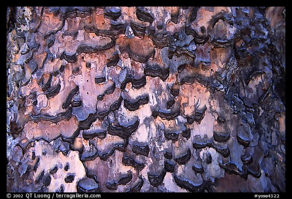 Detail of bark of pine. Yosemite National Park, California, USA.