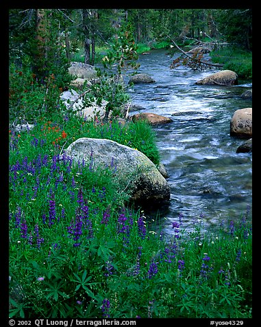 Lupine and stream, Tuolumne meadows. Yosemite National Park (color)