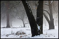 Black oaks, snow, and fog, El Capitan Meadow. Yosemite National Park, California, USA. (color)