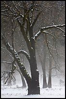 Black oaks in winter fog, El Capitan Meadow. Yosemite National Park, California, USA. (color)