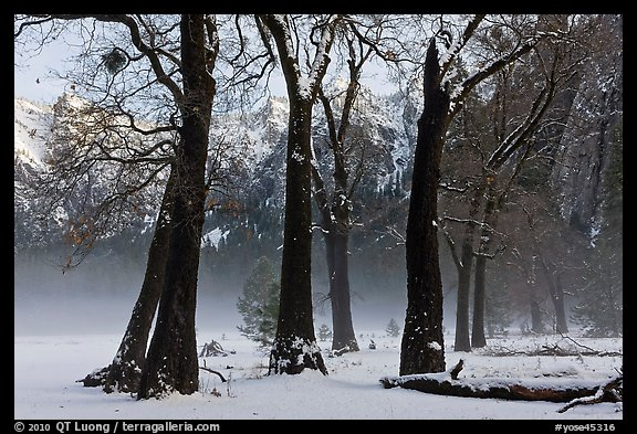Group of oaks in El Capitan Meadow with winter fog. Yosemite National Park (color)
