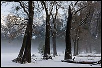 Group of oaks in El Capitan Meadow with winter fog. Yosemite National Park, California, USA. (color)