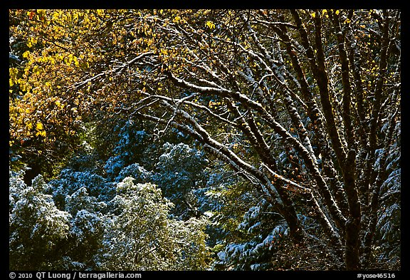 Branches with new leaves and snow. Yosemite National Park (color)