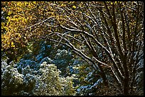 Branches with new leaves and snow. Yosemite National Park, California, USA. (color)