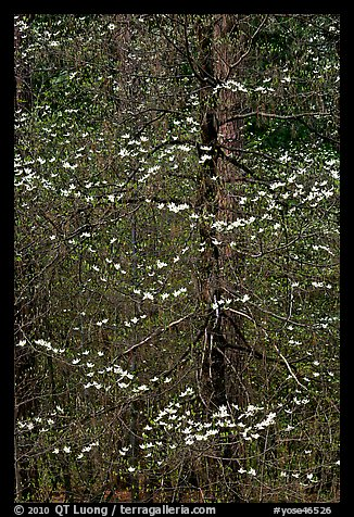 Early dogwood blooms. Yosemite National Park (color)
