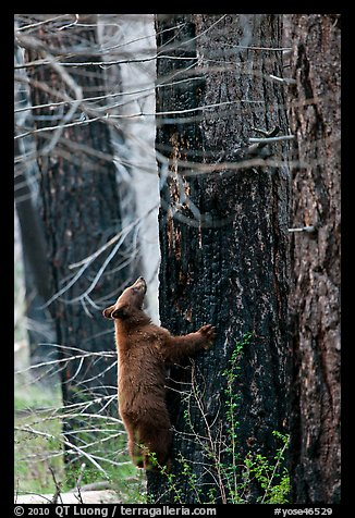 Bear cub climbing tree. Yosemite National Park (color)