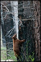 Bear cub climbing tree. Yosemite National Park, California, USA. (color)