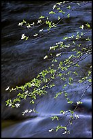 Dogwood branches and Merced River. Yosemite National Park ( color)