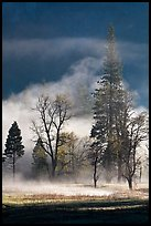 Morning fog and trees. Yosemite National Park ( color)
