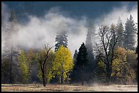 Fog lifting above trees in spring. Yosemite National Park ( color)