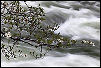 Dogwood branch and Merced River rapids. Yosemite National Park, California, USA.