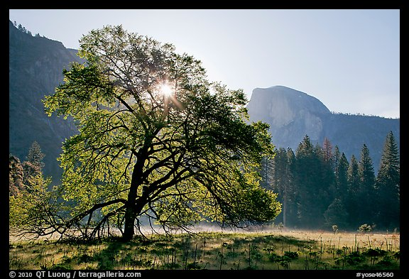 Sun through Elm Tree in the spring. Yosemite National Park (color)