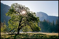 Sun through Elm Tree in the spring. Yosemite National Park, California, USA. (color)