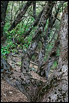 Gnarled Oak tree branches. Yosemite National Park ( color)