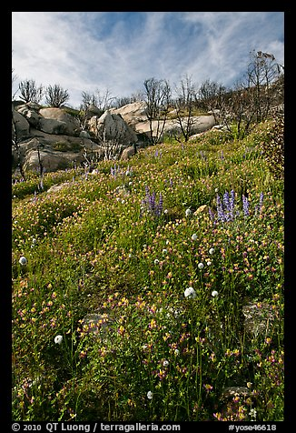 Wildflowers in burned area. Yosemite National Park (color)