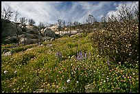 Wildflower carpets burned forest. Yosemite National Park, California, USA. (color)