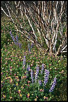 Lupine and. Yosemite National Park ( color)