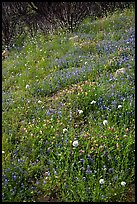 Wildflower-covered slope. Yosemite National Park ( color)