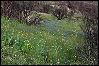 Burned slope covered by thick wildflower carpet. Yosemite National Park ( color)
