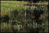 Irises, seasonal pond, and reflections. Yosemite National Park, California, USA. (color)