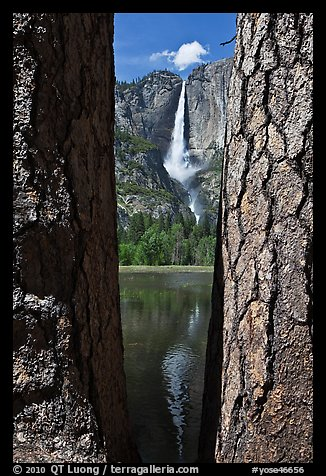 Ponderosa Pine Trees framing Yosemite Falls. Yosemite National Park (color)