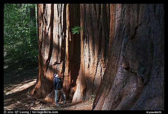 Hiker at the base of sequoias in Merced Grove. Yosemite National Park (color)