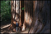Hiker at the base of sequoias in Merced Grove. Yosemite National Park, California, USA. (color)