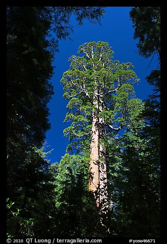 Giant sequoia in Merced Grove. Yosemite National Park, California, USA.