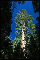 Giant sequoia in Merced Grove. Yosemite National Park, California, USA. (color)