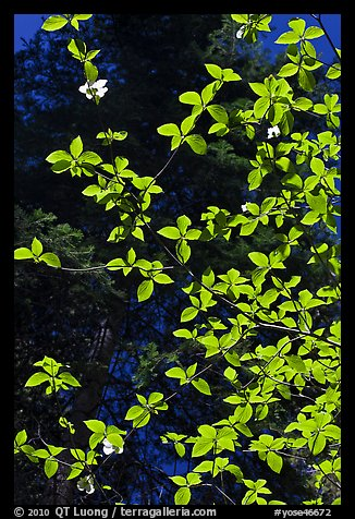 Backlit dogwood leaves and blooms, Merced Grove. Yosemite National Park (color)