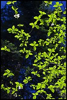 Backlit dogwood leaves and blooms, Merced Grove. Yosemite National Park ( color)