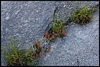Flowers growing in rock crack. Yosemite National Park ( color)