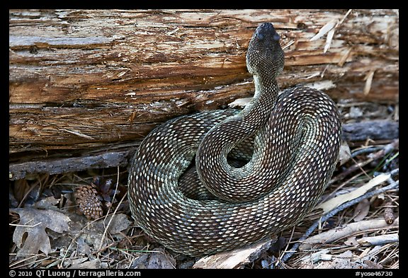 Rattlesnake. Yosemite National Park (color)