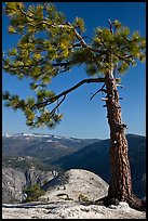 North Dome framed by pine tree. Yosemite National Park, California, USA. (color)