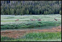 Deer herd at sunset, Lyell Canyon. Yosemite National Park ( color)